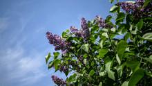 Purple Flowers On Blue Sky