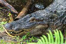 American Alligator (Alligator Mississippiensis) Head Closeup, Lying In Pond, Captive Animal - Florida, USA