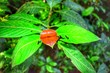 canvas print picture - Psychotria elata