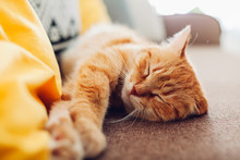 Ginger Cat Sleepng On Couch In...