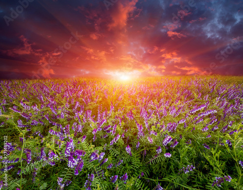 Fototapety, obrazy: sunset over wild flower meadow