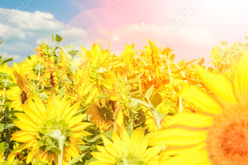 Fototapety, obrazy: a field of blooming sunflowers against a colorful sky