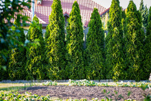 Thuja Is A Beautiful Coniferous Plant.