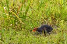 Newborn Coot Chick In Grass