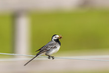 Wagtail On A Wire With A Beak Full Of Mosquitoes