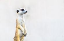 Meerkat Suricata Suricatta, African Native Animal,