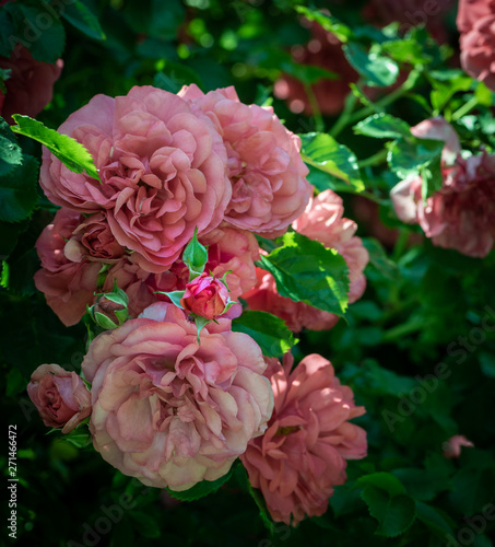 Fotografie, Obraz  Color outdoor lush bunch of pastel pink roses with buds on a bush / shrub with g
