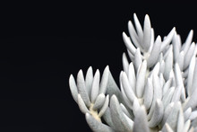 Beautiful White Senecio Haworthii Succulent House Plant On Dark Black Background