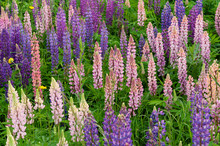 Lupinus Field With Pink Purple...
