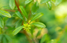 Anisetree Or Anise-tree Green ...