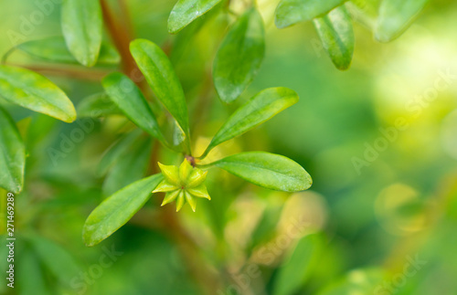 Photo anisetree or anise-tree green spice and leaves