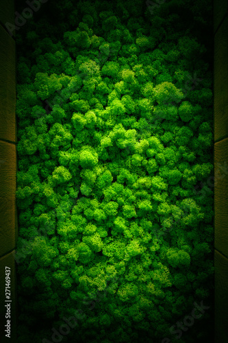 Reindeer moss wall, green wall decoration Cladonia rangiferina interior mock up textured - 271469437