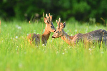 Young Roe Deer With Growing Antler Grazing Grass On The Meadow