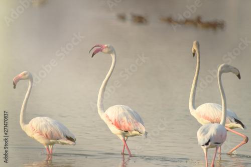 Garden Poster Flamingo birds shallow water