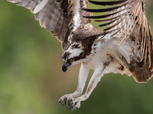 Close Up Of An Osprey Diving