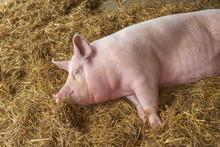 Pig Sleeping In Pigpen