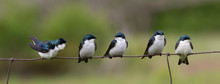 1 Female 4 Male Swallows