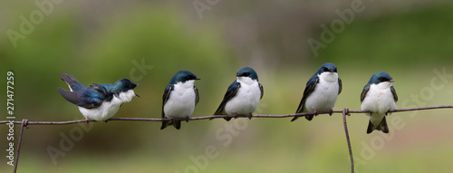 Spoed Foto op Canvas Vogel 1 female 4 male swallows