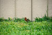 Sweet Red Headed Bird In Grass