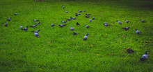 Pigeons Cover Grassy Area