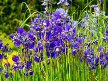 Flowers Irises In The Garden