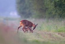 Roe Deer Suckling Fawn