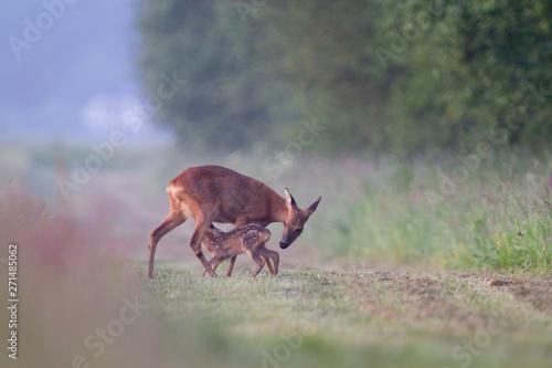 Fototapeta Roe deer suckling fawn
