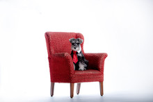 Miniature Schnauzer Puppy Dres...