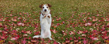 BANNER AUTUMN DOG TRICK. JACK RUSSELL PUPPY STANDING ON TWO HIND LEGS    ON FALL LEAVES GRASS.