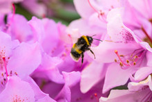 Bee And A Rhododendron Flower