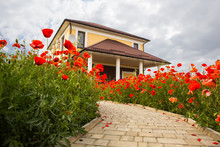 Red Poppies In The Lawns In Front Of The House