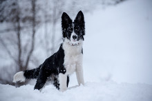 Adorable Cute Black And White Border Collie Portrait With White Snow.
