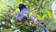 Taiwan Blue Magpie (Urocissa C...