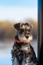 Portrait Of Miniature Schnauzer Pup With Soft Focused Background Blue Sky. A Sweet Face With Folded Over Ears.