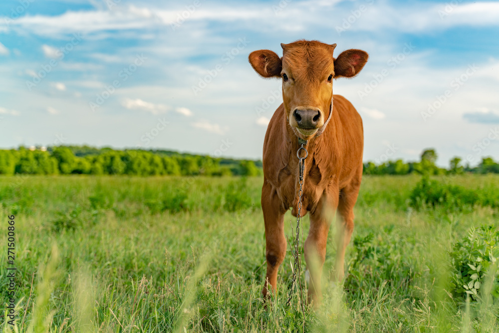Fototapeta Young calf is grazed in a meadow, close-up