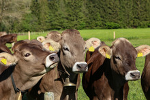 Brown Cows In Pastures In The ...
