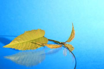 Złociste liście, młoda gałązka na szklanej półce i niebieskim tle.