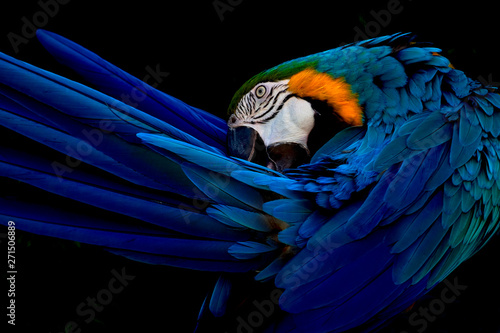 Fototapeta Blue and gold macaw portrait