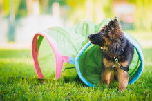 German Shepherd Puppy Training In A Tunnel During A Lesson In A Puppy School