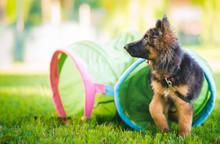 German Shepherd Puppy Training...