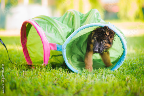 Obraz German shepherd puppy training in a tunnel during a lesson in a puppy school - fototapety do salonu