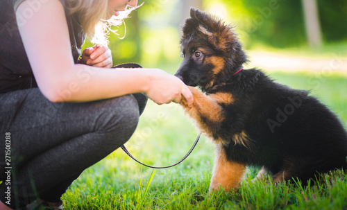 Stampa su Tela German shepherd puppy giving a paw during a puppy training