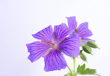 Close-up Of A Purple Flower Cranesbill,Geranium Rozanne, Isolated Under A Soft Light On A White Background
