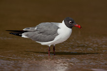 Laughing Gull (Leucophaeus Atr...