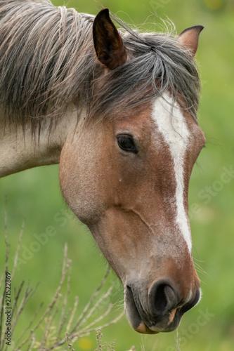 Wild Horse Head Close Up
