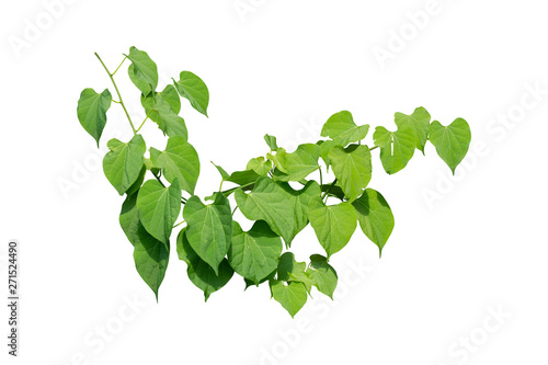 Vine Plant leaves tropic, bush foliage tree isolated on white background have cl Tableau sur Toile