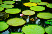 Lily Pads In Singapore Botanic Gardens