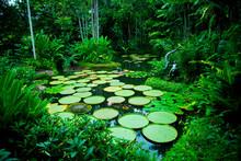 Lily Pads In Singapore Botanic Gardens