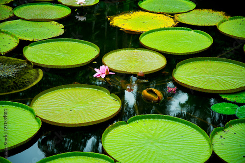 Canvas-taulu Lily Pads in Singapore Botanic Gardens
