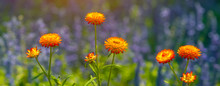 Orange Flowers With Sunlight At Sunset. Nature Background.